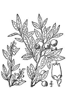 Vaccinium angustifolium